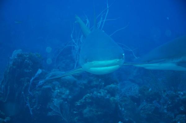 Scuba diving with the Sharks at Caraacara, Roatan-Honduras